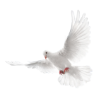 White-Dove-2