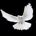 White-Dove-3